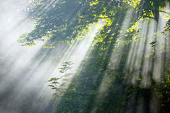 Sunlight beams in forest Royalty Free Stock Photography
