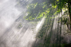 Sunlight beams in forest Stock Photography