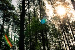 Sunlight beams and glare in the forest. Landscape with sunlight beams and glare in the forest Stock Images