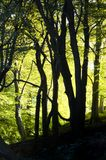 Sunlight through beautiful spring beech woodland with glowing bright green morning illuminating foliage and black tree trunks in. Sunlight through beautiful Royalty Free Stock Images