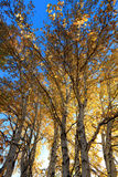 Sunlight behind birch tree in autumn Royalty Free Stock Image