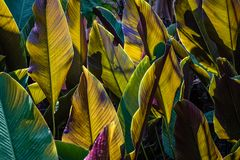 Free Sunlight Behind Broad Wide Tropical Leaves Makes Them Glow And Casts Shadows In Interesting Patterns Royalty Free Stock Photos - 167497488