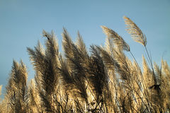 Sunlight behind the pampas grass flowers Royalty Free Stock Photography