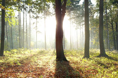 Sunlight behind a tree. In forest Royalty Free Stock Photography