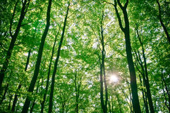 Sunlight being detectable in trees in forest Royalty Free Stock Photo