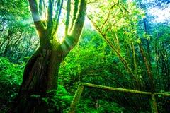 Sunlight through the big tree Stock Image