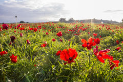 Sunlight on blooming red Anemone Coronaria field. Sunset at the background of blooming red Anemone Coronaria field in Israel Stock Photos