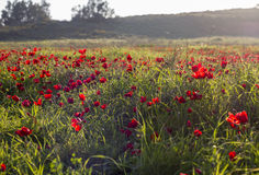 Sunlight on blooming red Anemone Coronaria field Stock Image