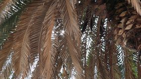 Sunlight breaking through the big branches of a palm tree. Slow motion stock video