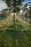 Sunlight breaking through tree trunks royalty free stock images