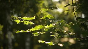 Sunlight breaks through the green leaves of maple stock video footage