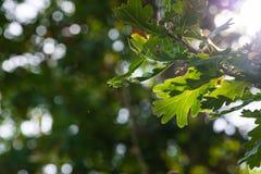 Sunlight breaks through on green orange oak leaves at early autumn Royalty Free Stock Photos