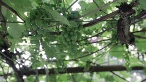 Green vineyard, close-up stock footage