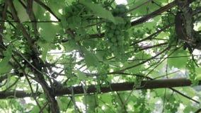 Green vineyard, close-up stock video footage