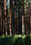 Sunlight breaks through the  Pine forest Royalty Free Stock Image
