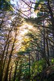 Sunlight breaks through tall pine trees over a trail in a forest on the slopes of the mountain. North Island, New Zealand stock photos