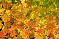 Sunlight on breezy autumn leaves. Fall sunlight filtering through a bough of maple leaves Stock Photo