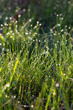 Sunlight and bright dew on green grass Royalty Free Stock Photos