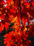Sunlight through bright red maple leaves. Red orange blue sky vibrant tree branches yellow saturation forest plant Royalty Free Stock Photo