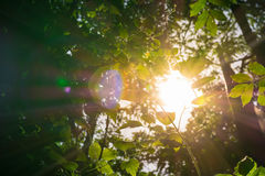 Sunlight Through Bushes in Forest Flare Rays Nature Green Health Royalty Free Stock Photo
