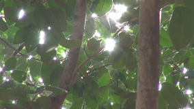 Sunlight and camera motion in banyan tree leaves – Auroville. Sunlight and camera motion in banyan tree leaves – Auroville, Tamil Nadu, India stock video