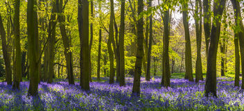 Sunlight casts shadows across bluebells in a wood Royalty Free Stock Photos