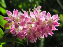 Sunlight catching pink Ribus flowers Royalty Free Stock Image