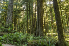 Sunlight in Cathedral Grove Stock Photo