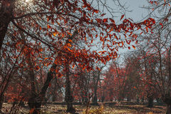 Sunlight come through the trees in a field full of orange leaves Royalty Free Stock Images