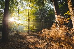 Sunlight coming through forest lighting up orange branches in foreground giving a devine feeling stock image