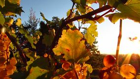 Sunlight coming throught grapes in vineyard stock video footage