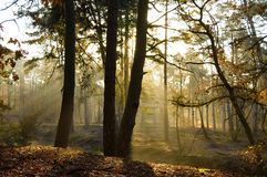 Sunlight coming through trees in woods. Leaf covered forest floor with beautiful yellow sunlight coming through various sized trees Stock Images