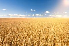 Sunlight on corn field Stock Photos