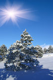 Sunlight day. Spruce trees covered by snow in beautiful winter landscape Stock Image