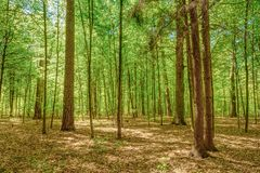 Sunlight In Deciduous Forest, Summer Nature Stock Photo