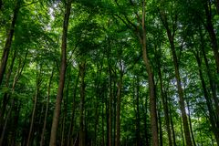 Sunlight through dense trees at Haagse Bos, forest in The Hague. Netherlands, Europe Stock Photography