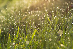 Sunlight in drops of morning dew on green grass Stock Photo