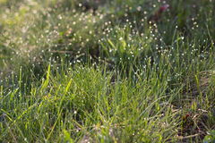 Sunlight in drops of morning dew on green grass Royalty Free Stock Photography