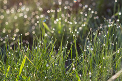 Sunlight in drops of morning dew on green grass Stock Image