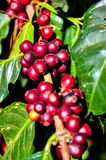 Sunlight effect on the red coffee beans on tree branch Royalty Free Stock Images