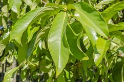 Leaves Of The Otaheite Apple Tree. Sunlight on the elongated glossy leaves of the Otaheite apple tree. Along the center of the long simple leaf is the midrb that stock image