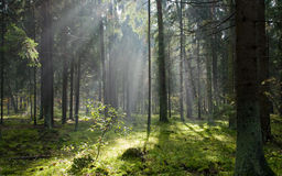 Sunlight Entering Misty Coniferous Forest Royalty Free Stock Photography