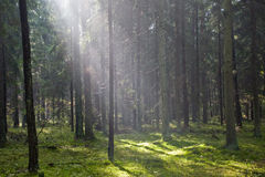 Sunlight Entering Misty Coniferous Forest Royalty Free Stock Photos