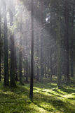 Sunlight entering misty coniferous forest Stock Images