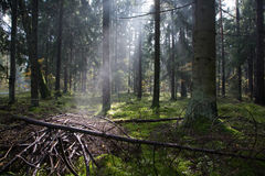 Sunlight entering misty coniferous forest Royalty Free Stock Photo