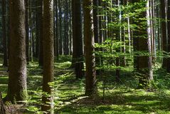 Spruce Forest in Summer Royalty Free Stock Photo