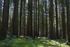 Spruce Forest in Summer Stock Photos