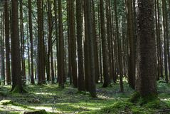 Spruce Forest in Summer Royalty Free Stock Images