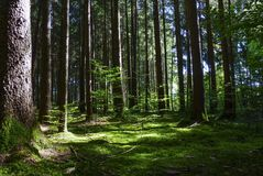 Spruce Forest in Summer Stock Images