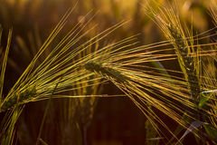 Sunlight on the field. Wheat field under the influence of sunlight. Photography of nature Royalty Free Stock Photography